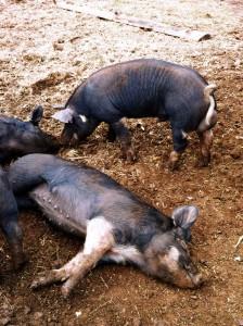 baby-pigs-1