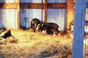 baby-pigs-4
