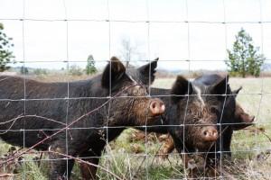 baby-pigs-3