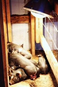 baby-pigs-2