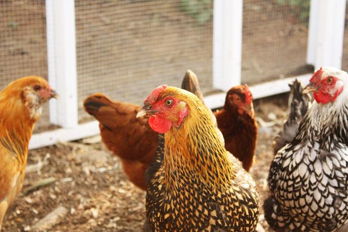 gold-laced wyandotte backyard chicken coop