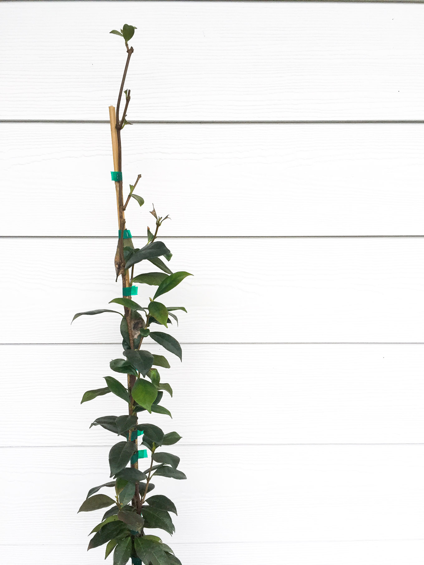 landscaping ideas for a narrow front yard, including star jasmine, dwarf italian cypress, and more