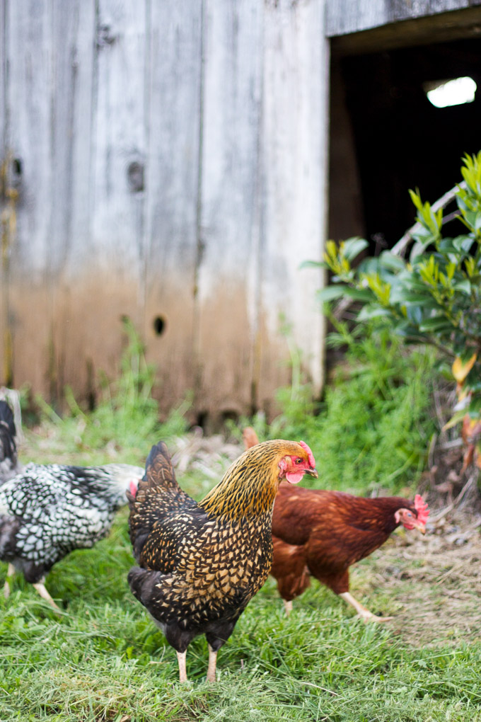 Meet our flock of backyard chickens!