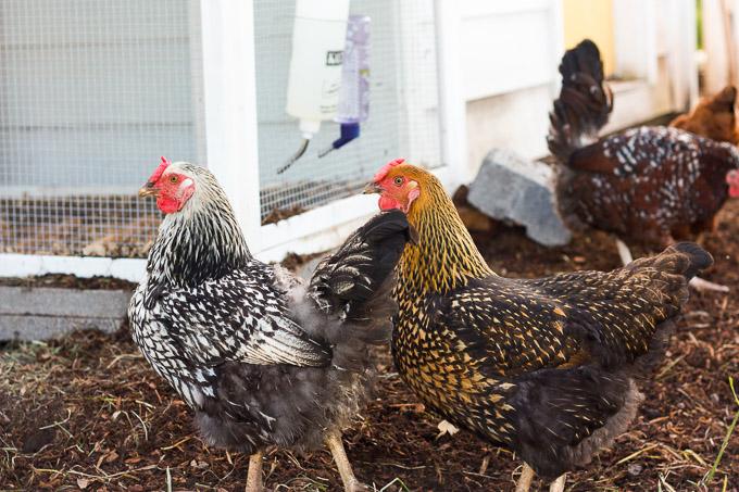Meet our flock of backyard chickens!