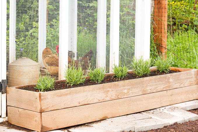 Lavender planted outside a chicken run helps the air smell fresh, and repels bugs as an added bonus!