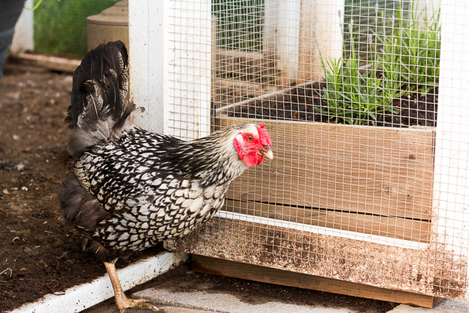This Silver-Laced Wyandotte hen is named Miss Jane Bennet. Just like her namesake, she is beautiful and demur.