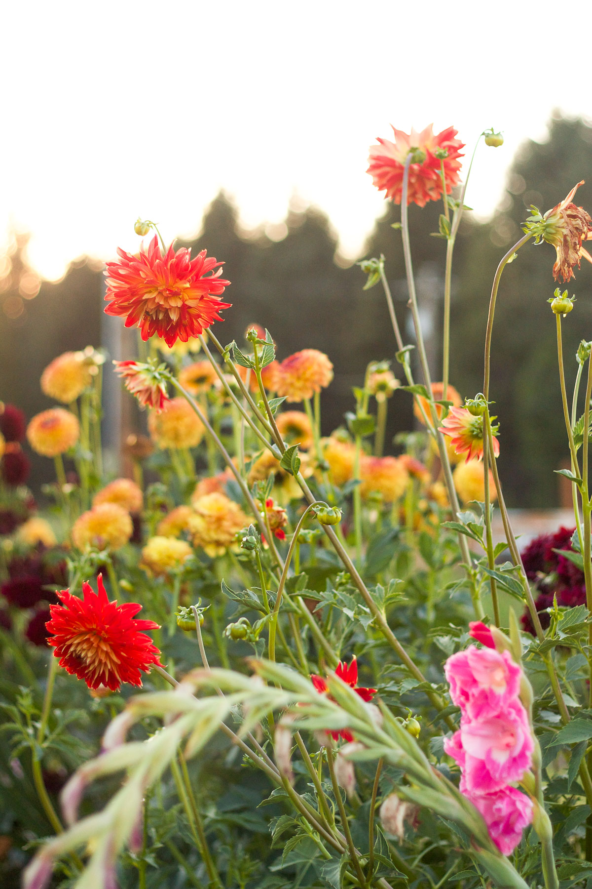 Gorgeous dahlias in a summer cutting garden