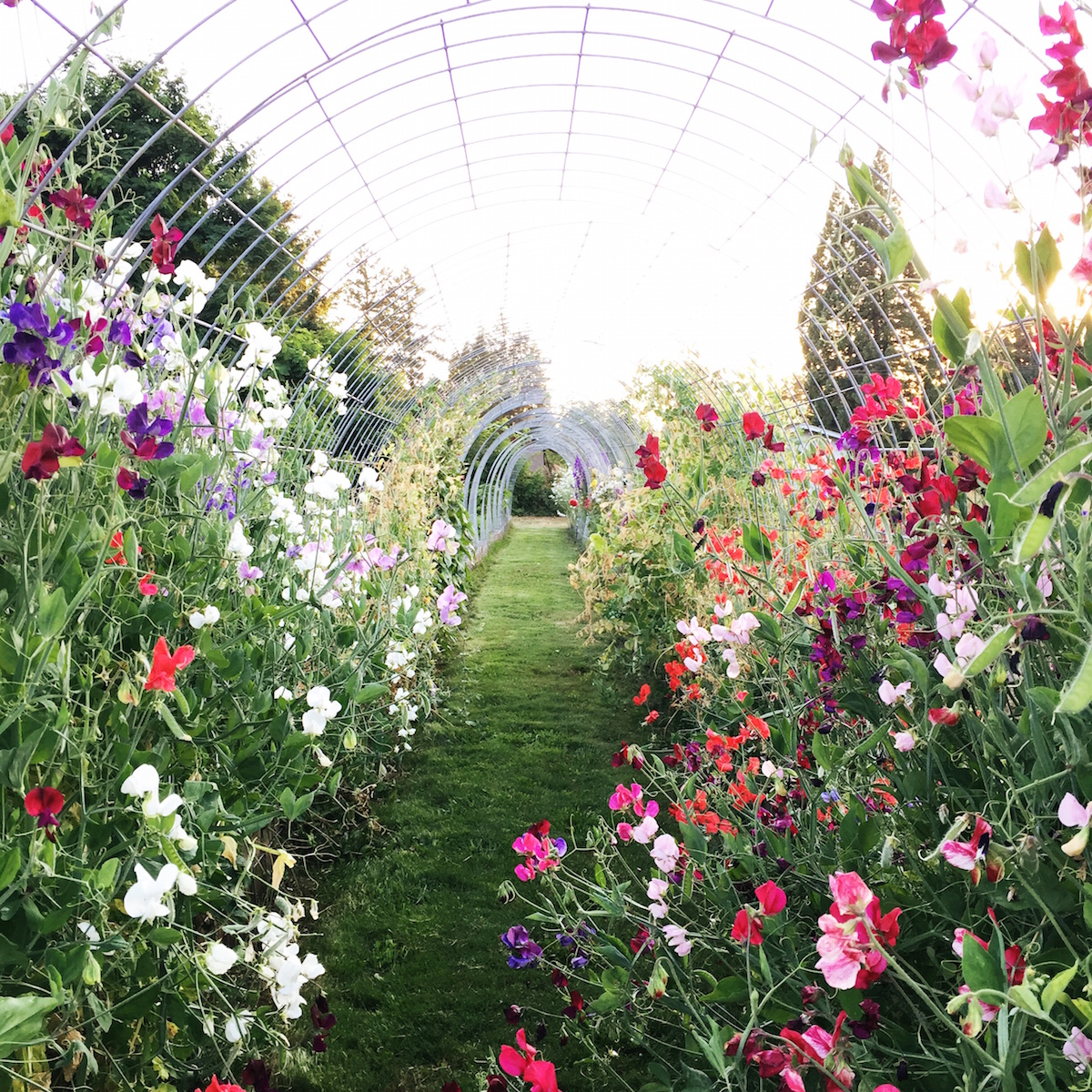 a tunnel of sweet peas