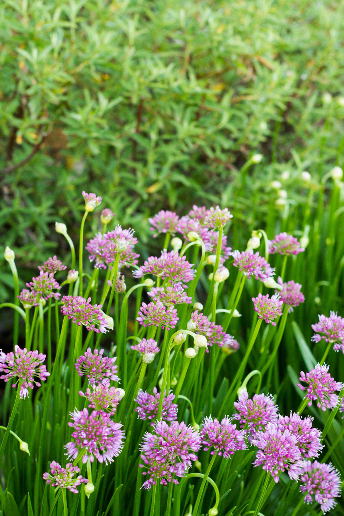 alliums and rock rose