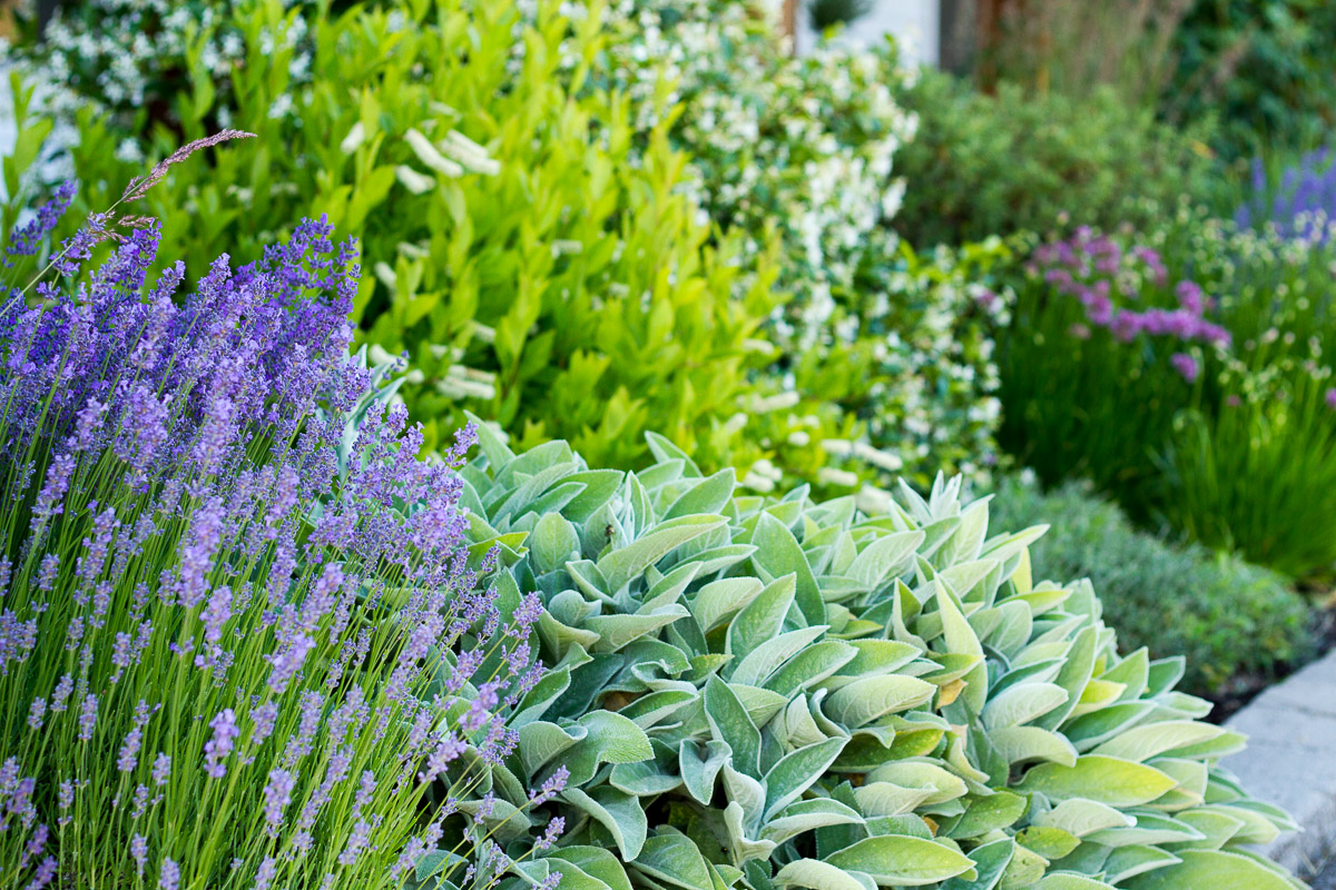mediterranean-inspired front yard landscape design with lavender, lamb's ear, sweet spire, star jasmine, alliums, and more